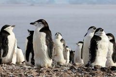 Lösa chinstrappingvin, Antarktis Royaltyfri Fotografi