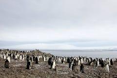 Lösa chinstrappingvin, Antarktis Fotografering för Bildbyråer