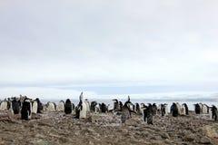 Lösa chinstrappingvin, Antarktis Arkivfoton