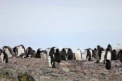 Lösa chinstrappingvin, Antarktis Royaltyfria Bilder