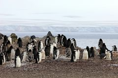Lösa chinstrappingvin, Antarktis Royaltyfria Foton