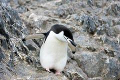 Lösa chinstrappingvin, Antarktis Royaltyfri Bild