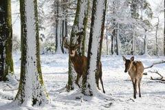 Lösa deers mellan träden, i vintern parkerar med ny snö Royaltyfri Bild