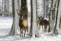 Lösa deers mellan träden, i vintern parkerar med ny snö Royaltyfri Foto