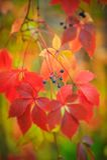 Lösa druvor i hösten i röda och guldfärger Royaltyfri Bild