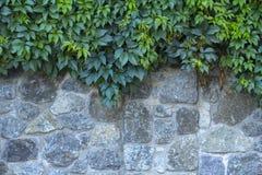 Lösa druvor på en gammal stenvägg arkivbilder