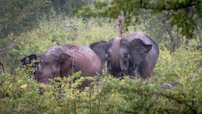 Lösa elefanter, Udawalawe nationalpark Sri Lanka royaltyfri foto