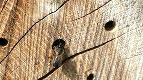 Lösa ensliga bin Osmia Bicornis som framme flyger av en ask för kryphotellskydd i vår gjort av den wood stammen stock video