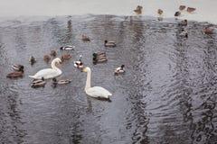 Lösa fåglar i vintervattnet Royaltyfri Bild