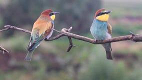 Lösa fåglar med kulöra fjädrar på en sommardag arkivfilmer