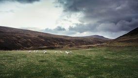 Lösa får i norden av Skottland Arkivfoto