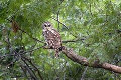 Lösa gallerförsedda Owl Watches Intensely Before Sunrise Royaltyfri Foto