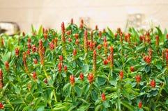 Lösa Ginger Flowers Royaltyfri Bild