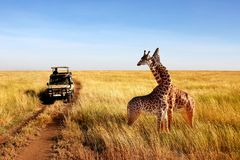 Lösa giraff i afrikansk savannah tanzania royaltyfri fotografi