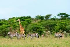 Lösa giraff i savannet Royaltyfria Foton