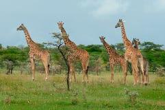 Lösa giraff i savannet Arkivfoto