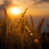 Lösa gräs i aftonljus Royaltyfria Foton