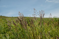 Lösa gräs på en blå himmel längs PÅ Royaltyfria Bilder