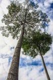 Lösa gummiträd royaltyfri bild