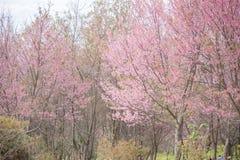 Lösa Himalayan körsbärsröda blossomsPrunuscerasoides som blommar i vinter på Phu Lom Lo Royaltyfri Foto