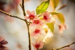 Lösa Himalayan körsbärsröda blossomsPrunuscerasoides som blommar i vinter på Phu Lom Lo Fotografering för Bildbyråer