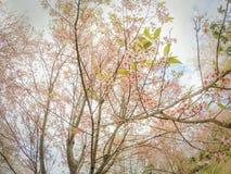 Lösa Himalayan körsbärsröda blossomsPrunuscerasoides som blommar i vinter på Phu Lom Lo Arkivfoto