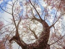 Lösa Himalayan körsbärsröda blossomsPrunuscerasoides som blommar i vinter på Phu Lom Lo, Kok Sathon, Dan Sai District, Loei, Thai Royaltyfri Fotografi
