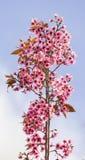 Lösa Himalayan körsbärsröda blossomsPrunuscerasoides som blommar i vinter på Phu Lom Lo, Kok Sathon, Dan Sai District, Loei, Thai Arkivbild