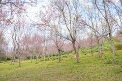 Lösa Himalayan körsbärsröda blossomsPrunuscerasoides som blommar i vinter på Phu Lom Lo, Kok Sathon, Dan Sai District, Loei, Thai Arkivfoto