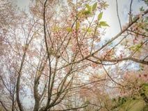 Lösa Himalayan körsbärsröda blossomsPrunuscerasoides som blommar i vinter på Phu Lom Lo, Kok Sathon, Dan Sai District, Loei, Thai Royaltyfria Foton