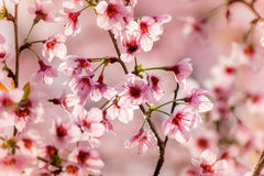 Lösa Himalayan körsbärsröda blossomsPrunuscerasoides som blommar i vinter på Phu Lom Lo, Kok Sathon, Dan Sai District, Loei, Thai Arkivbilder