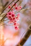 Lösa Himalayan körsbärsröda blossomsPrunuscerasoides som blommar i vinter på Phu Lom Lo, Kok Sathon, Dan Sai District, Loei, Thai Arkivfoton