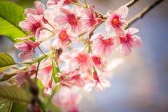 Lösa Himalayan körsbärsröda blossomsPrunuscerasoides som blommar i vinter på Phu Lom Lo, Kok Sathon, Dan Sai District, Loei, Thai Royaltyfri Foto