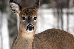 Lösa hjortar Arkivfoto