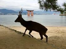 Lösa hjortar framme av den stora Toriien av den Miyajima ön Hiroshi royaltyfri fotografi