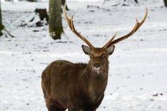 Lösa hjortar i vintern parkerar med ny snö Arkivbild