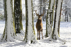 Lösa hjortar mellan träden, i vintern parkerar med ny snö Royaltyfri Bild
