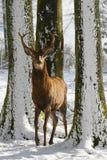 Lösa hjortar mellan träden, i vintern parkerar med ny snö Royaltyfria Bilder