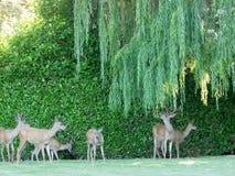 Lösa hjortar under bakgårdvidet royaltyfri foto