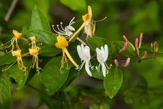 Lösa Honeysuckel, guld-, vit- och lilaknoppar Royaltyfri Fotografi