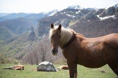 Lösa Horeses i nationalparken av Picos de Europa, Cantabria, Spanien fotografering för bildbyråer