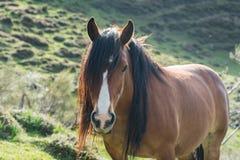 Lösa Horeses i nationalparken av Picos de Europa, Cantabria, Spanien royaltyfria bilder