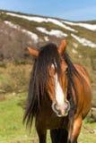 Lösa Horeses i nationalparken av Picos de Europa, Cantabria, Spanien arkivfoton