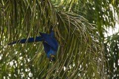 Lösa Hyacinth Macaw på att klättra ner palmträdet Fotografering för Bildbyråer