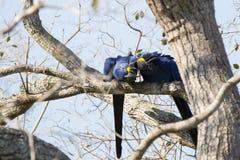 Lösa Hyacinth Macaws Cuddling Royaltyfri Bild