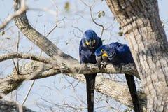 Lösa Hyacinth Macaws Investigating från övre i träd Arkivbild