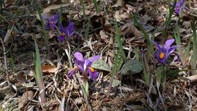 Lösa iriers - Iris Verna artiris i norr Georgia Mountains Arkivfoto