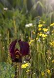 Lösa Iris Argaman eller kust- iris som på våren blommar fältet Arkivfoton
