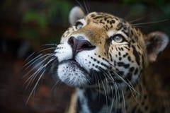 Lösa Jaguar i den Belize djungeln royaltyfri foto