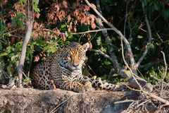 Lösa Jaguar på en flodbank Arkivbild